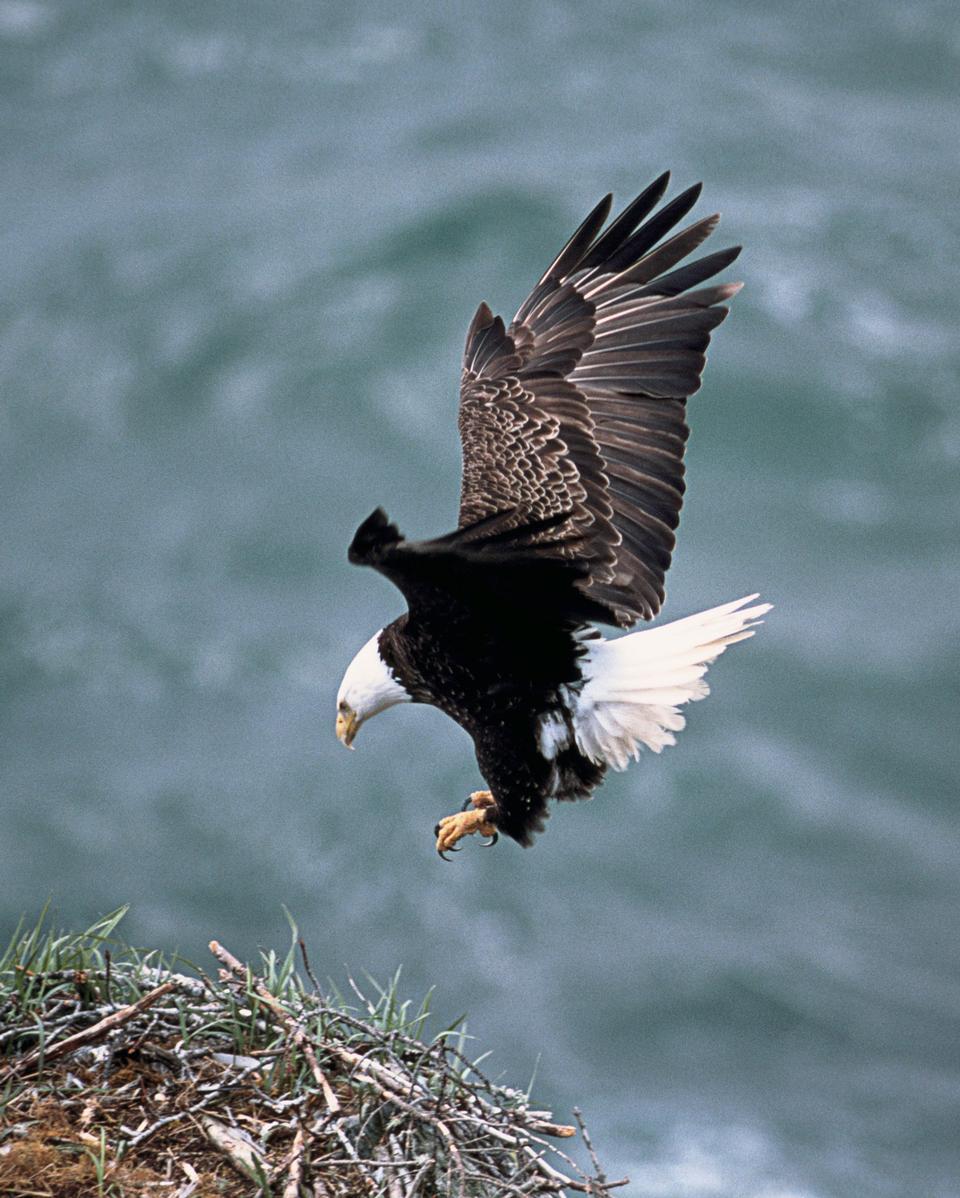 Aigle atterrissage sur son nid de bâtons