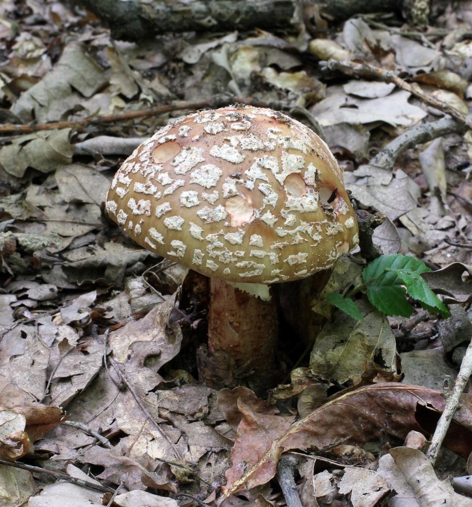 블러셔, 젊은 버섯