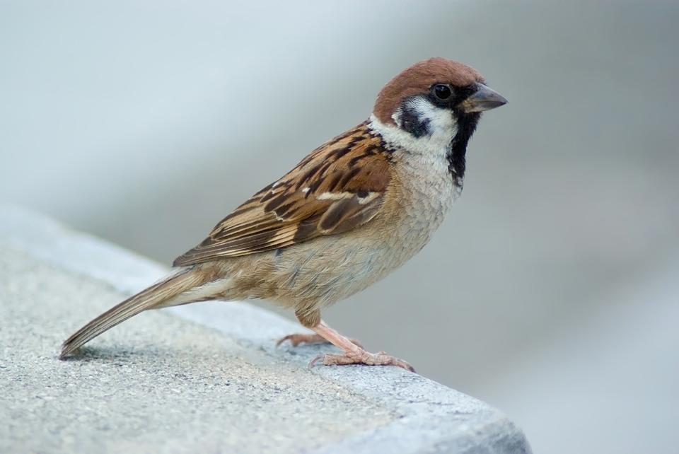 Ist eine eurasische Baum-Sparrow