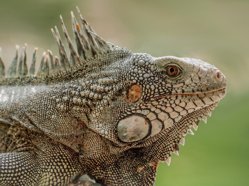 Closeup Portrait Of A Green Iguana