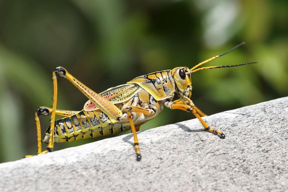 Giant Orange Grasshopper