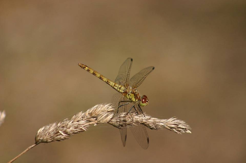 Resting red dragonfly