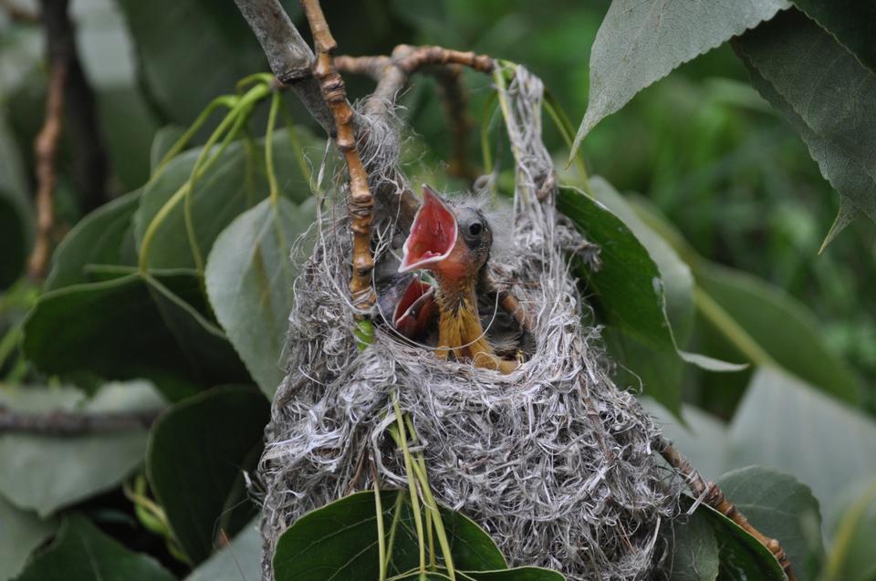 Polluelos Baltimore Oriole en su nido
