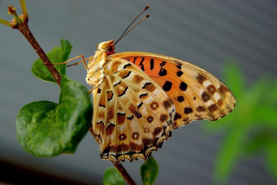 Les espèces de papillons Argynnis hyperbius indienne Fritillary