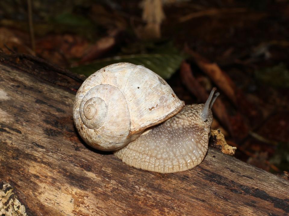 Helix pomatia, Edible snail, Burgundy snail