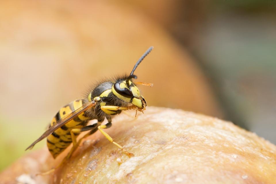 Wasp close up