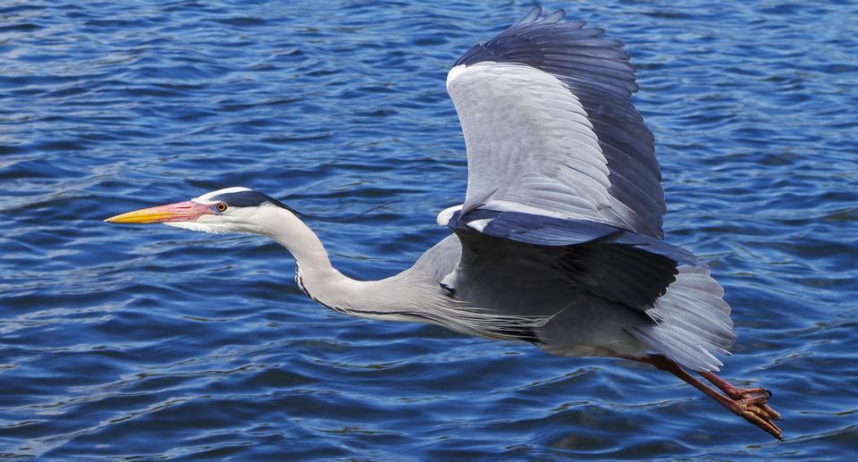 Grey heron flying in London