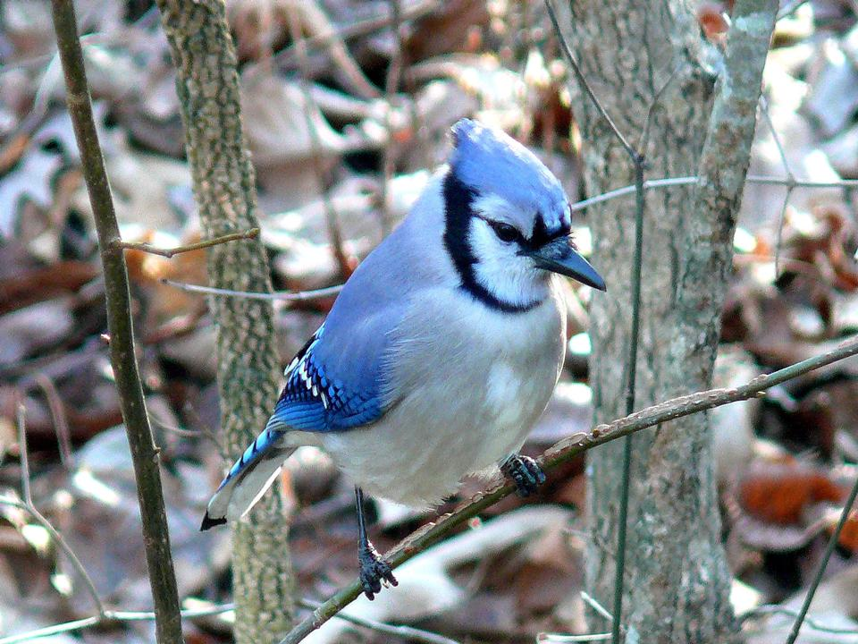 A blue jay perched on a tree branch