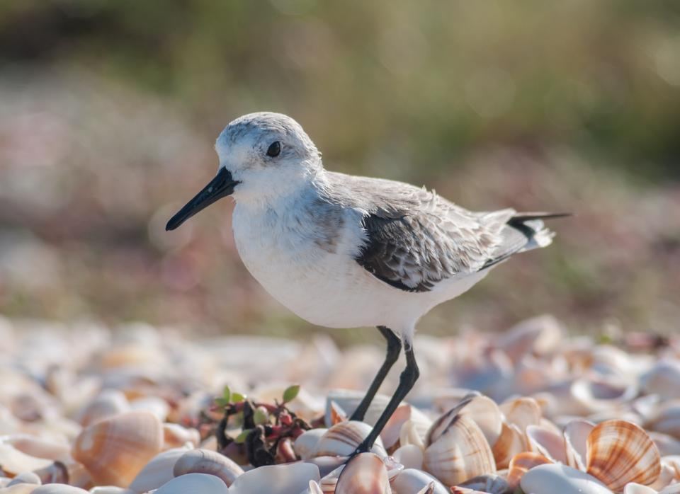 Calidris alba  running in White Sand