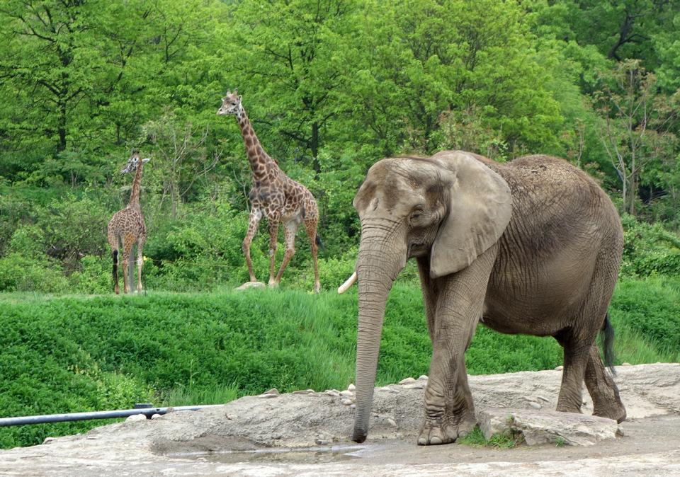 Giraffen mit Elefanten