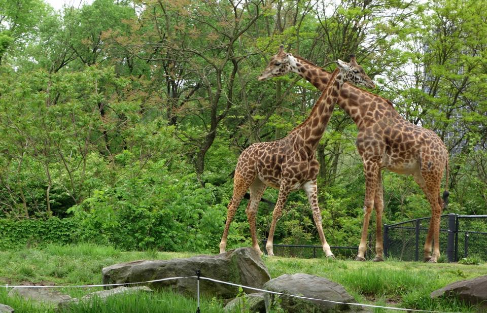 キリン - ピッツバーグ動物園