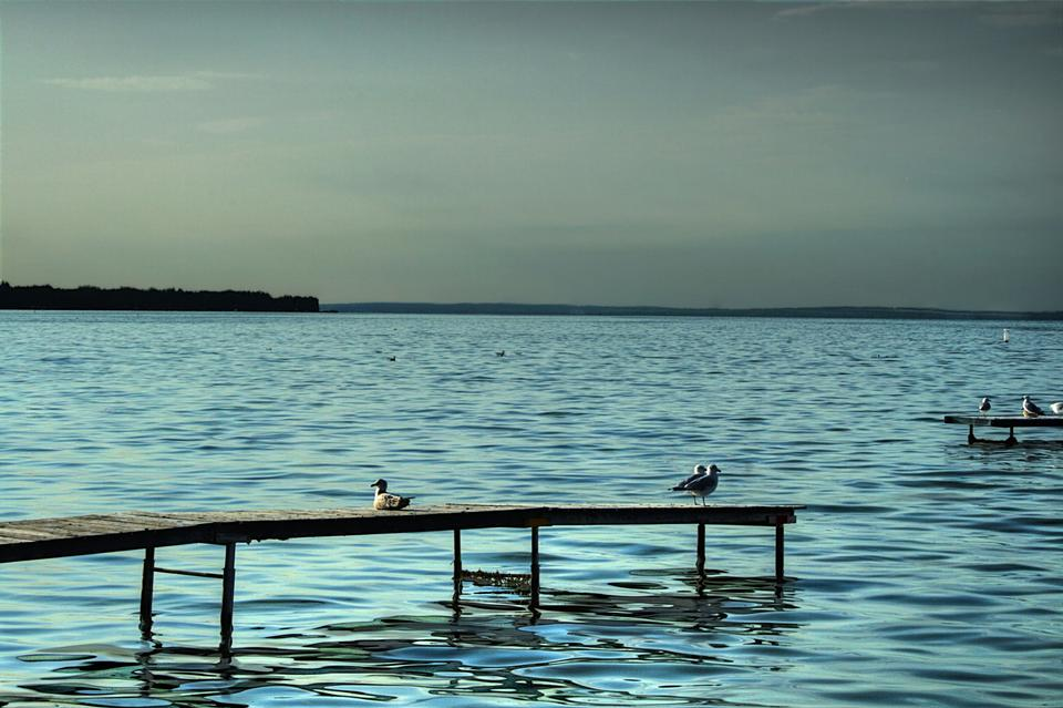 Seagulls Pigeon Lake, Alberta, Kanada