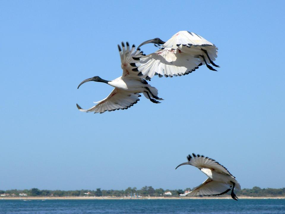 Ibis sagrado africano en vuelo sobre el agua
