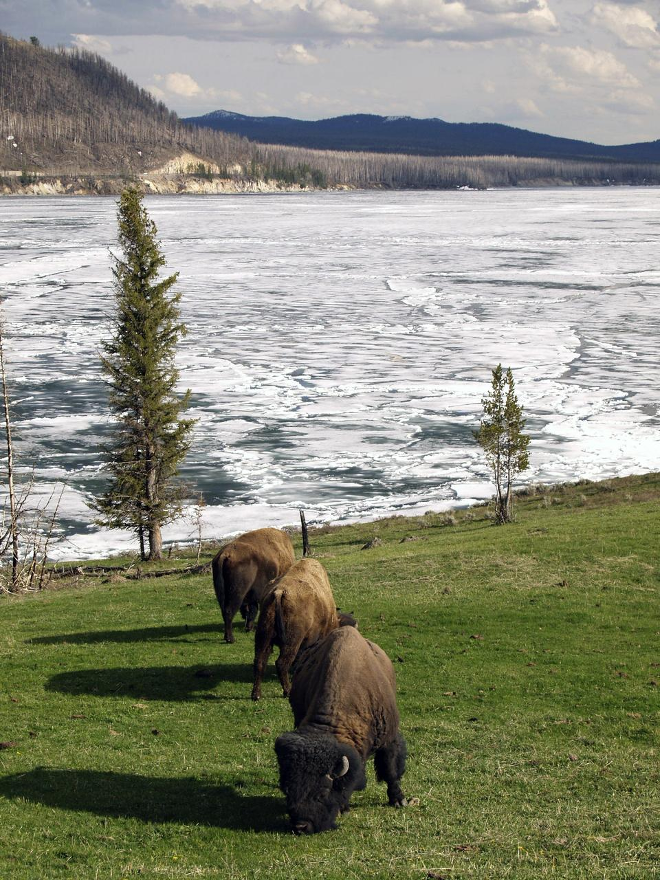 Herde der amerikanische Bison Yellowstone National Park