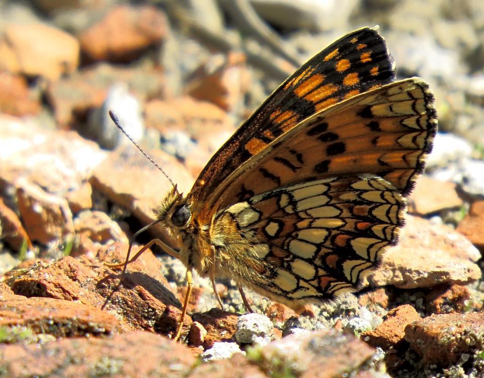 Mélitée orangée papillon