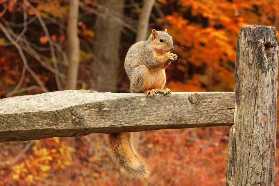 Squirrel, Autumn, acorn and dry leaves