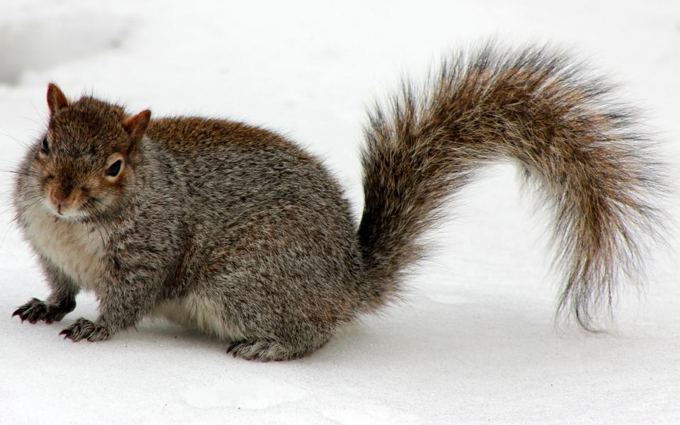 Red Squirrel in inverno