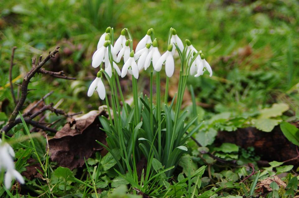 Snowdrop flowers - Galanthus nivalis