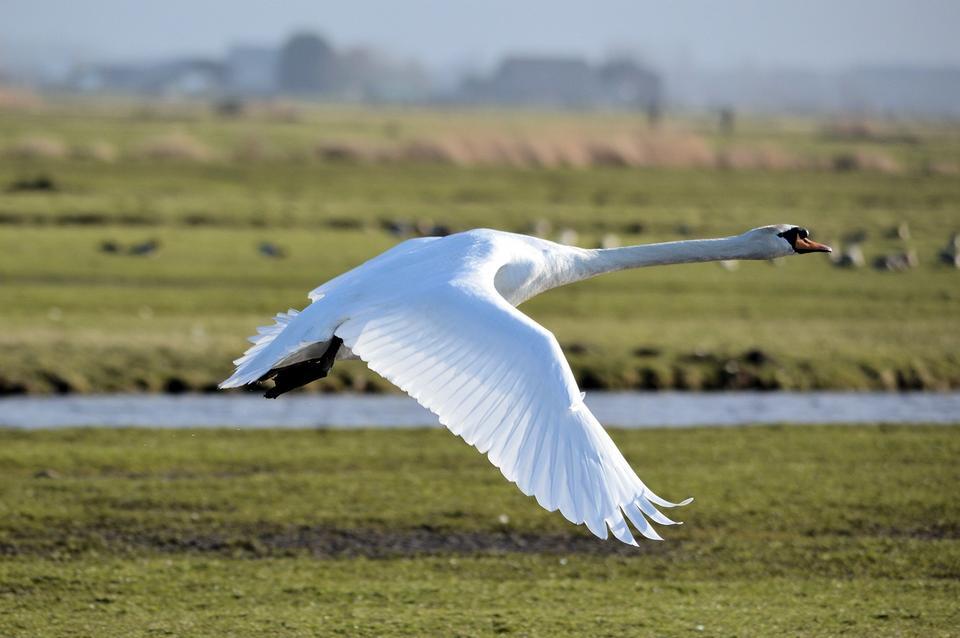 Trumpeter Swan Cygnus buccinator flying