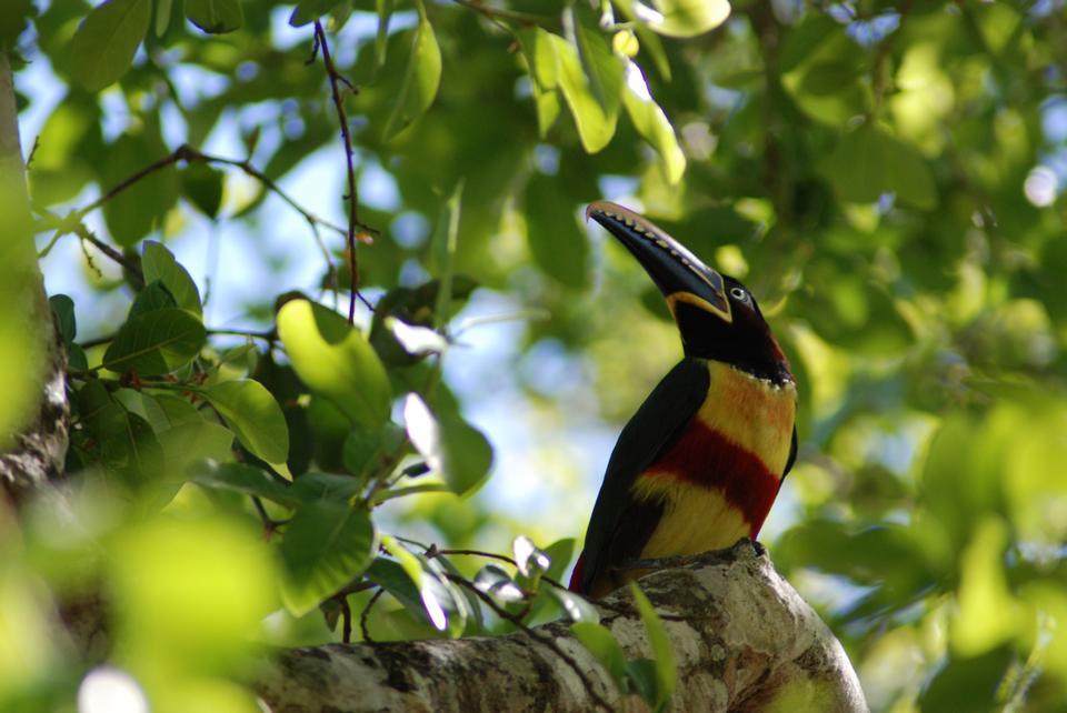 Aracari toucan appollaiato su un ramo nella foresta pluviale del Belize