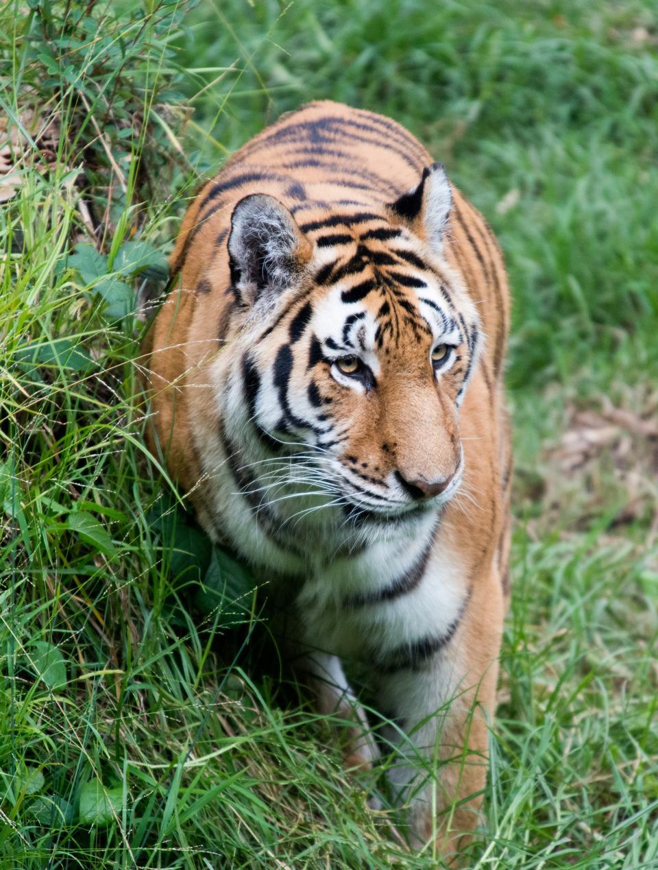 Head Shot di tigre di Sumatra in erba Panthera Tirgris Sumatrae