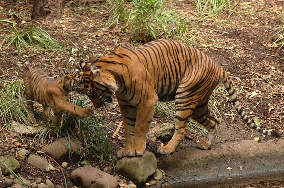 Tigress with a kitten on a grass