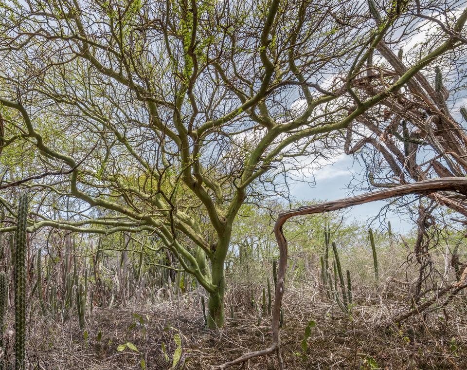 giallo albero praecox Chimonanthus