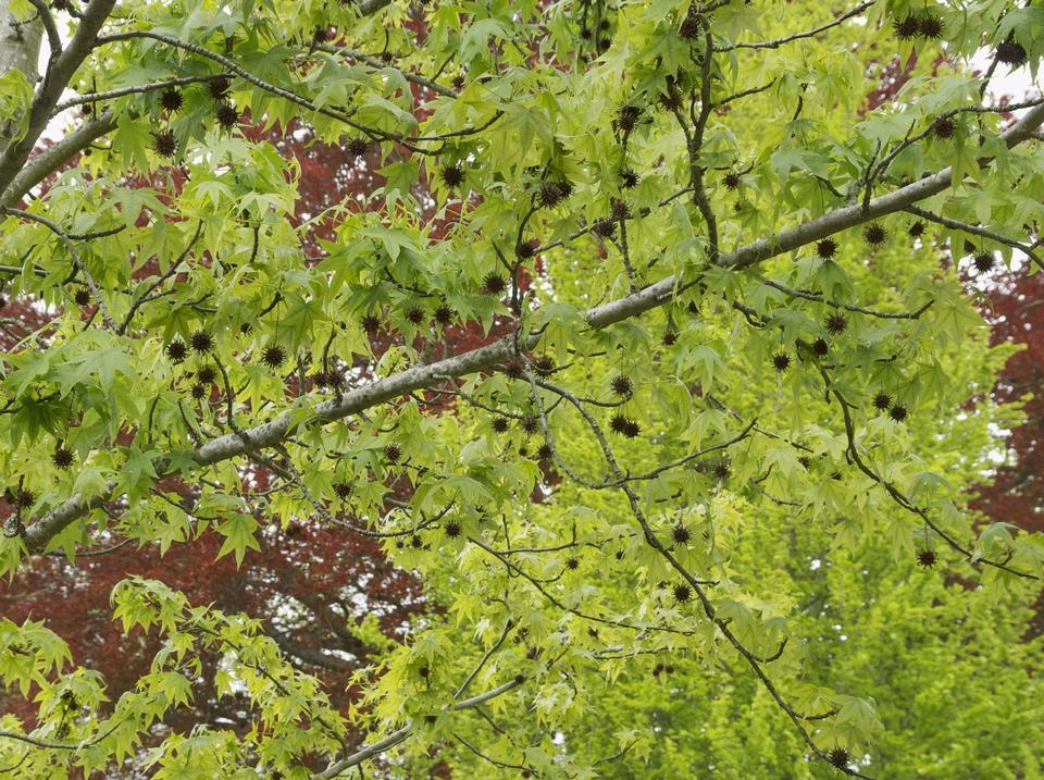 Лето листва американской Sweetgum