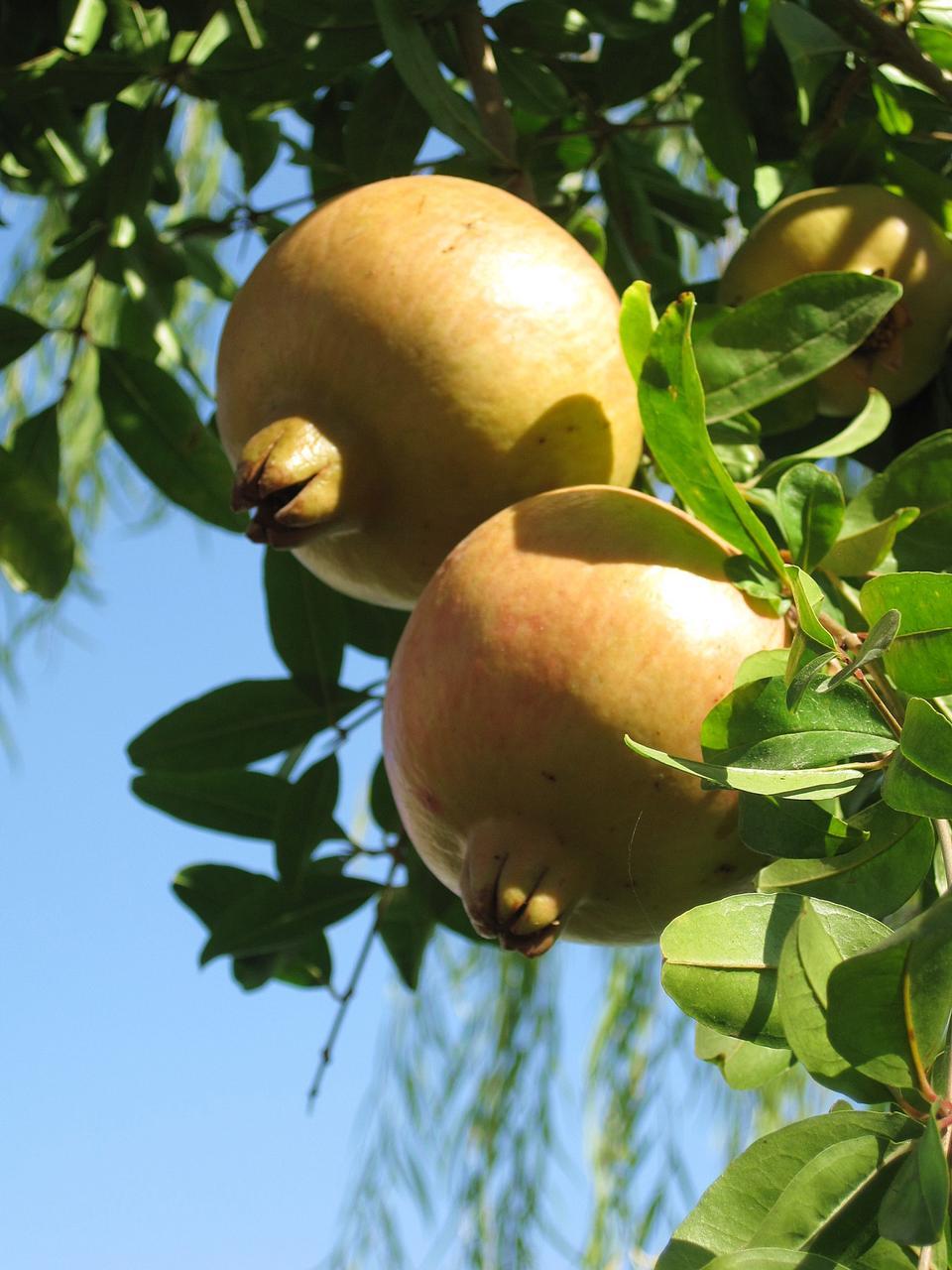나무에 잘 익은 석류 - 석류 나무속 granatum