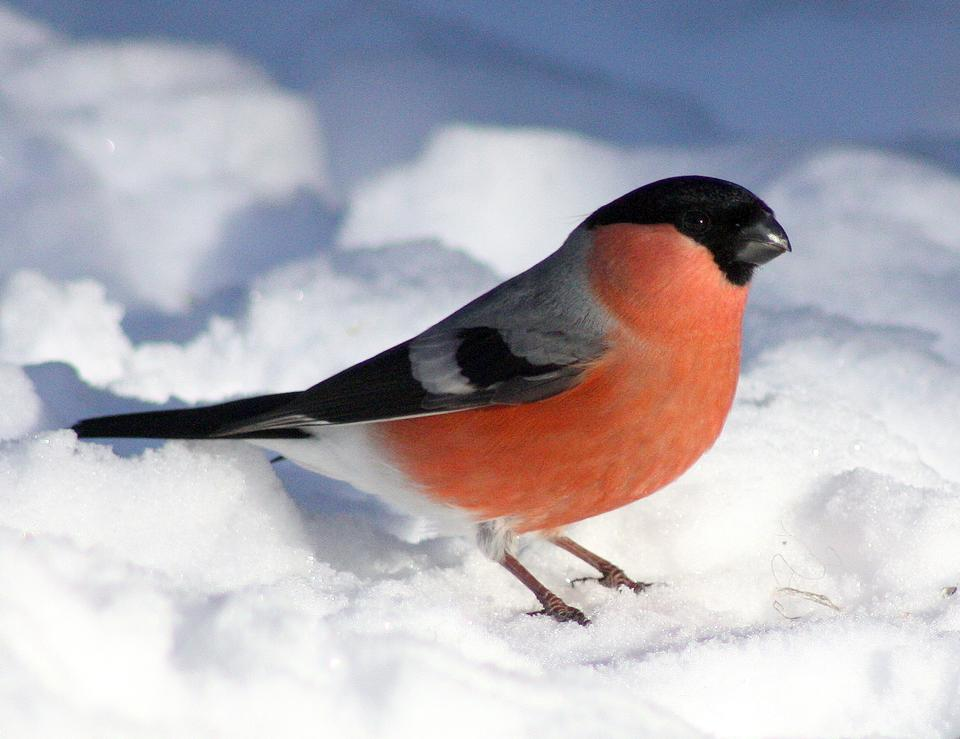 Bullfinch (Pyrrhula pyrrhula, Eurasian Bullfinch) in winter