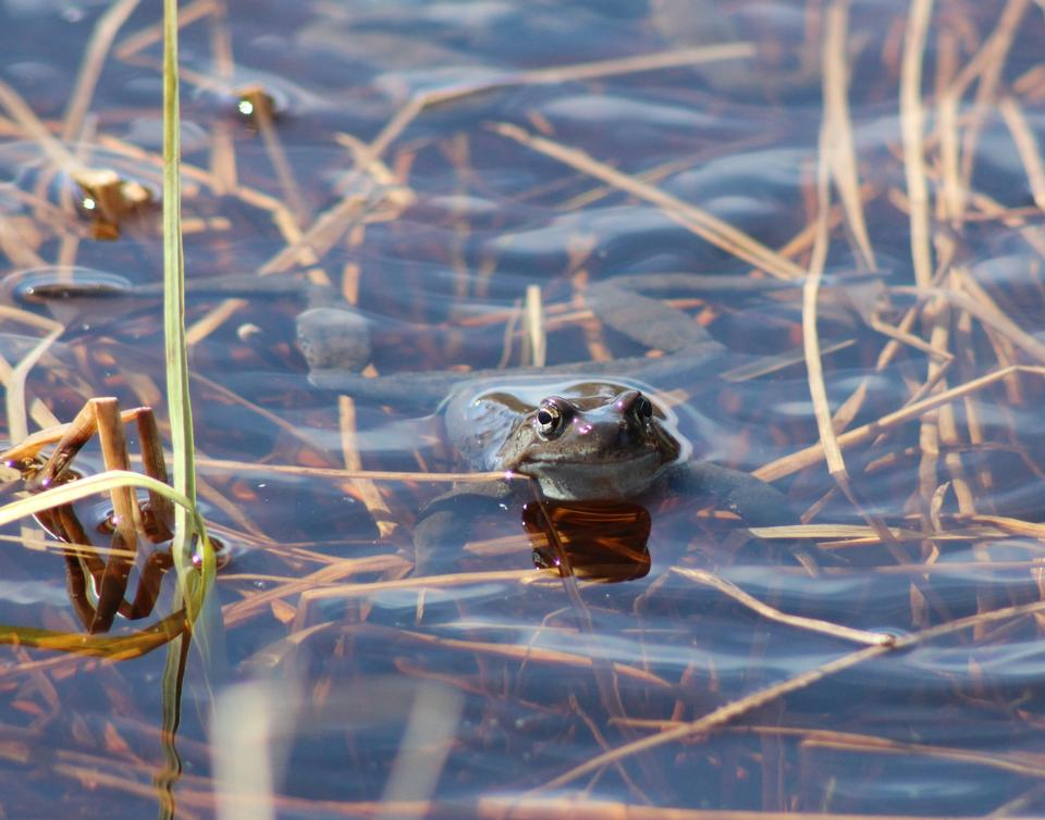 Common frog in a pond