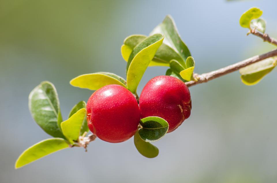 Cerezas rojas y dulces en una rama