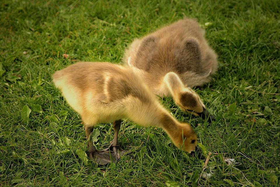 Ganso Gosling Canadá en busca de comida en la hierba