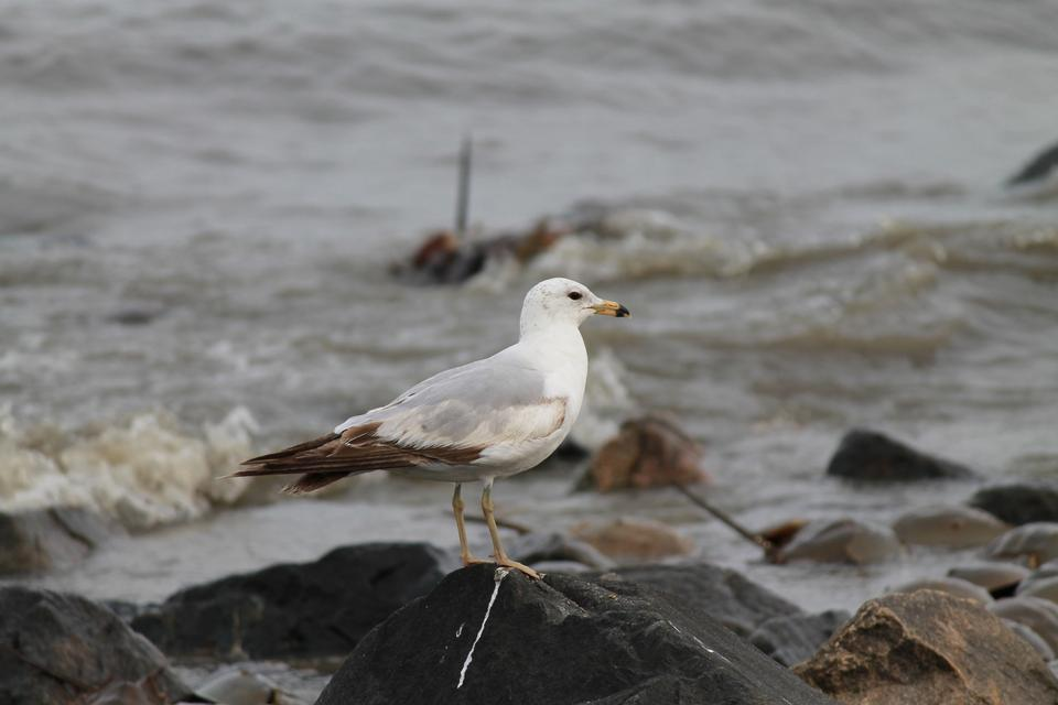 Ring-billed gull on rock