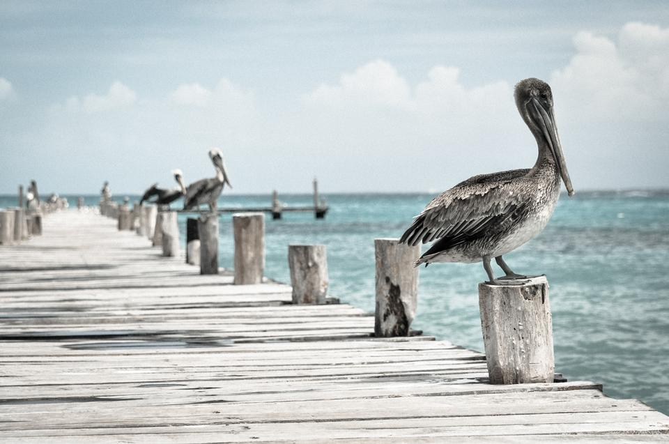 brown pelicans perches on a wooden piling at a harbor