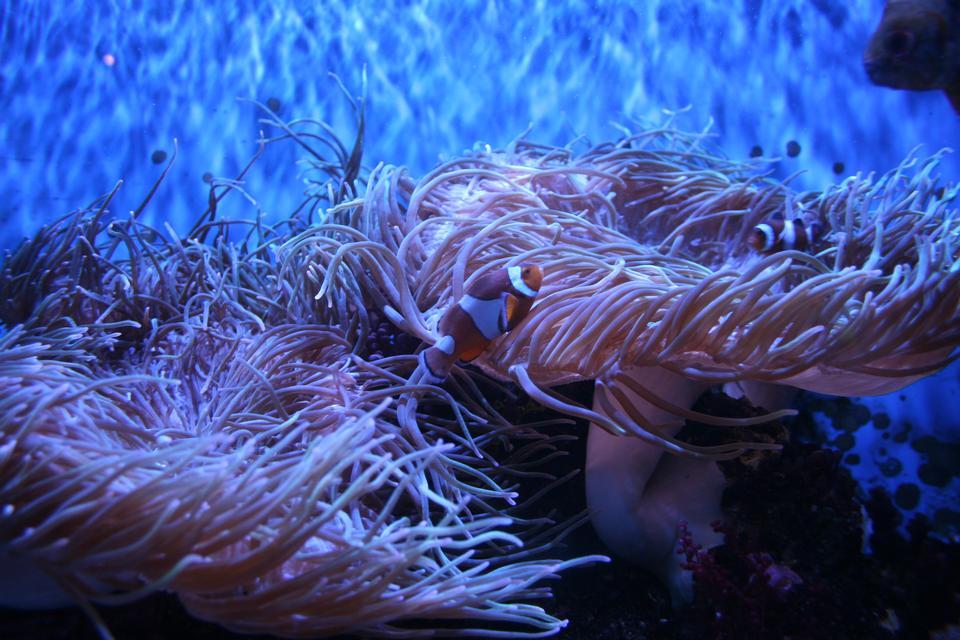 小丑小丑魚,或者小丑魚,公子percula,庇護