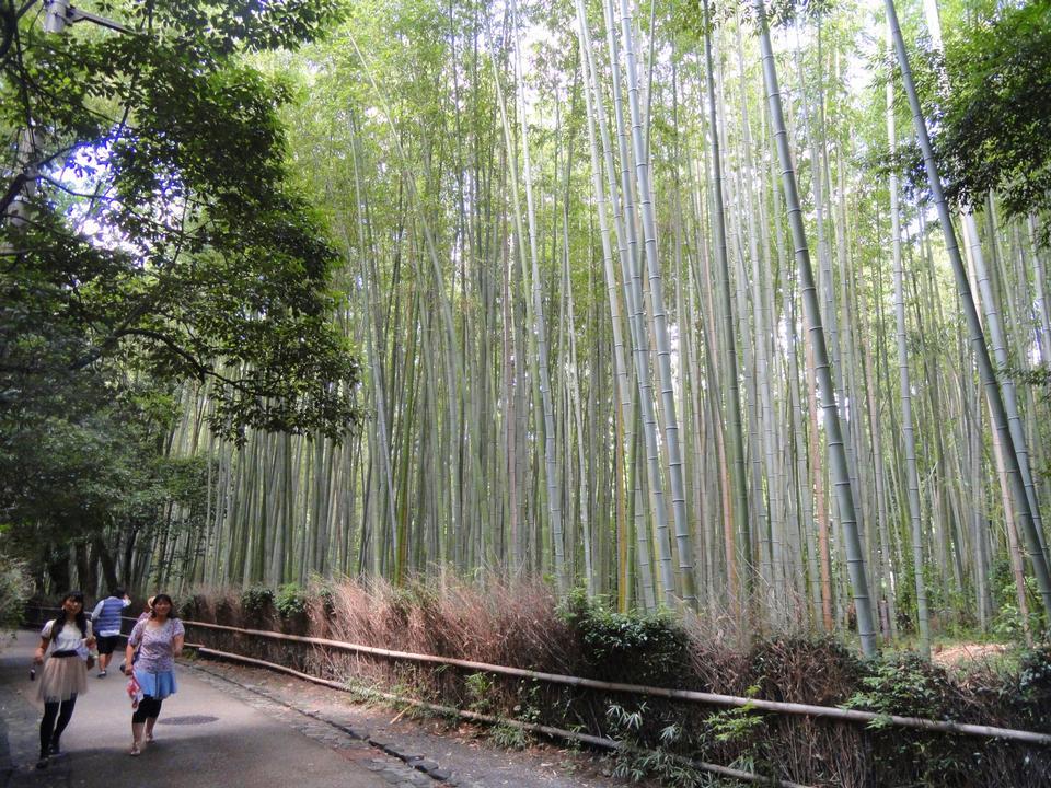사가 노 대나무 숲, 교토, 일본