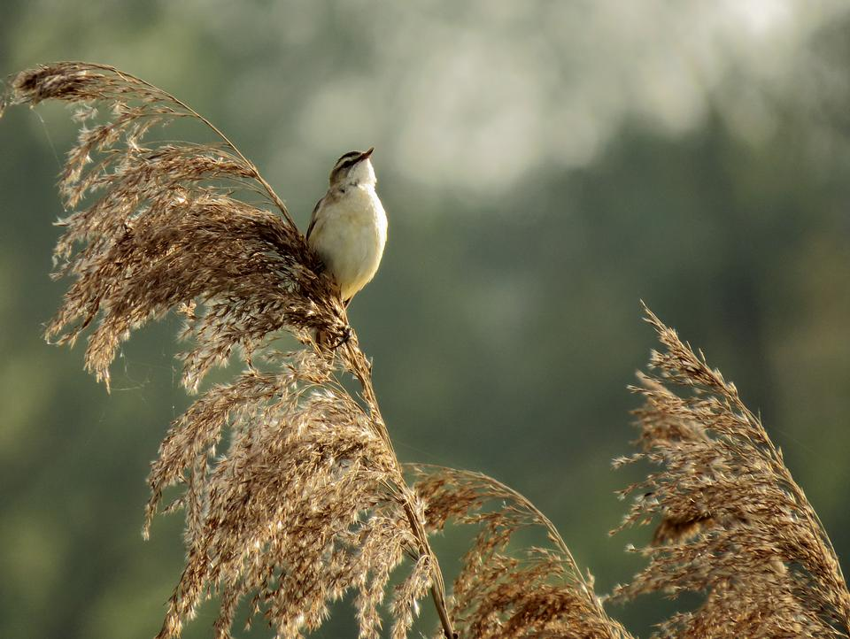 Beautiful seddge warbler close up