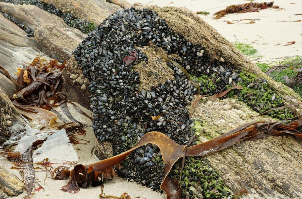 mejillones en las rocas