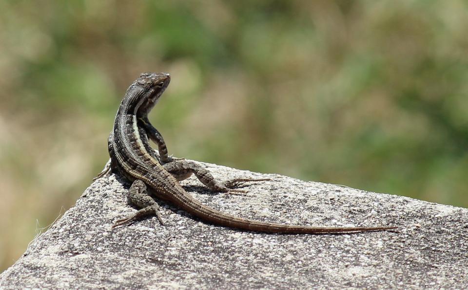 A sagebrush lizard, Sceloporus graciosus