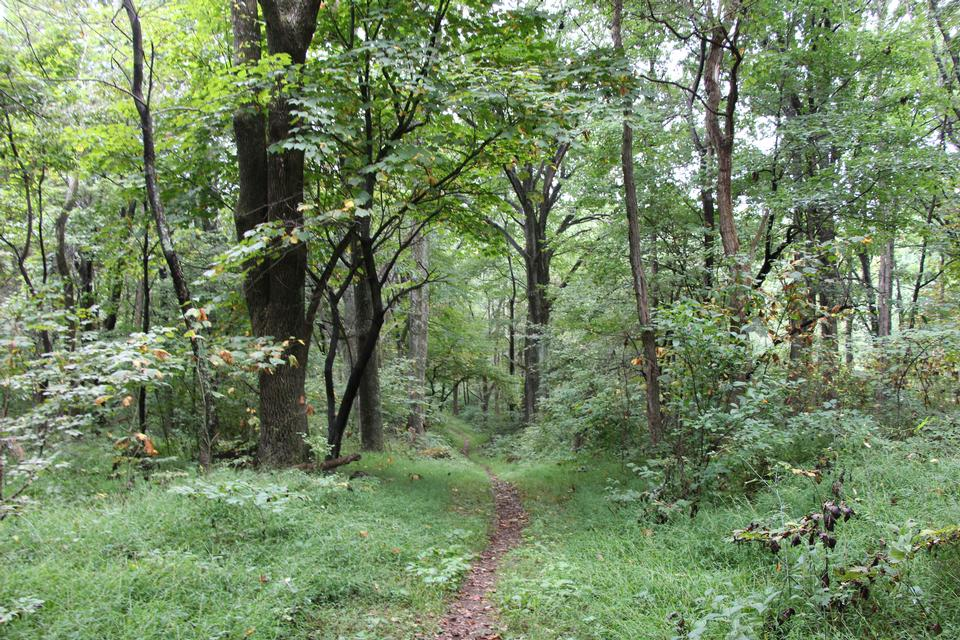 Trail through tall trees in a lush forest, Shenandoah  Park