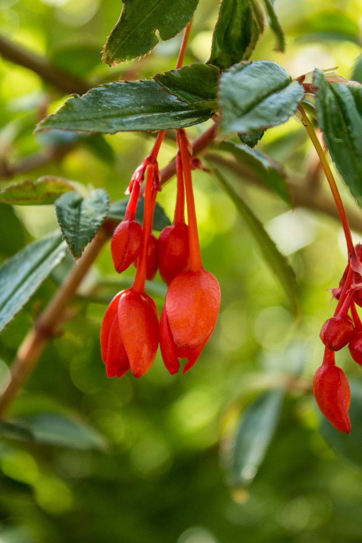 Begonia x hybrida flowers