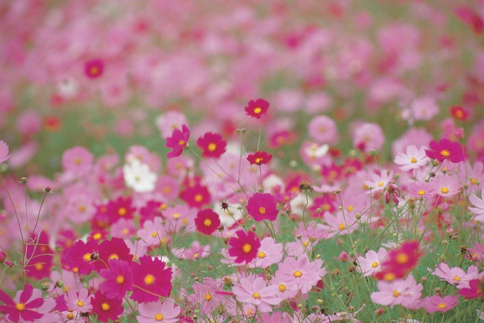 Cosmos flowers,beautiful purple and red flowers blooming