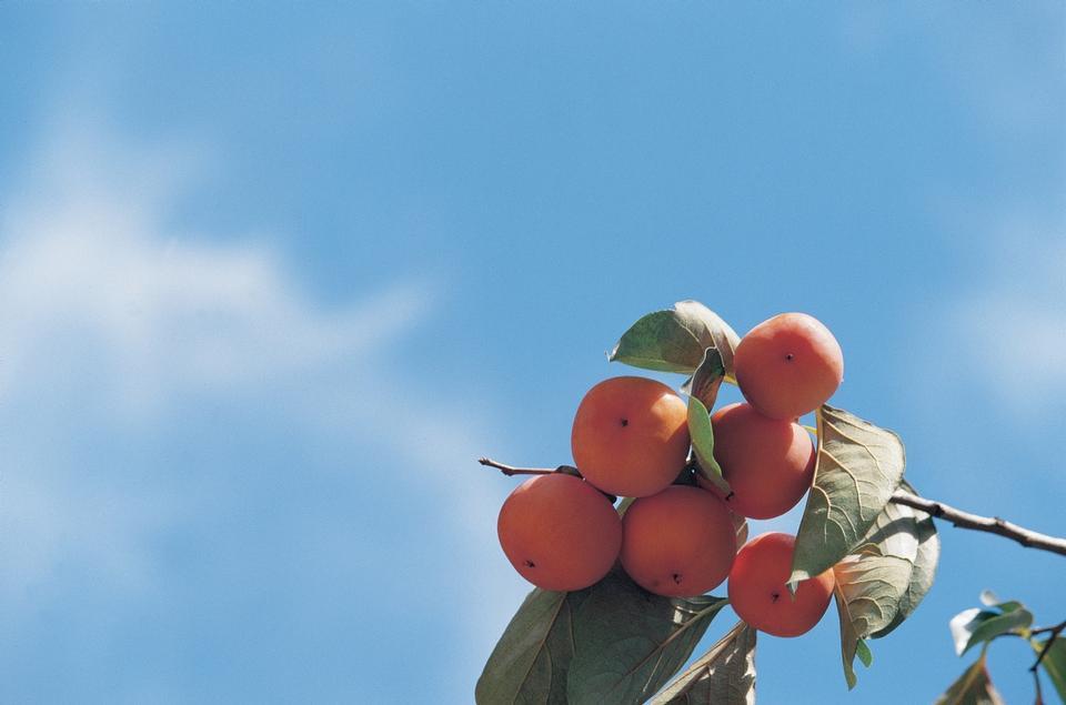 Persimmons at fruit garde