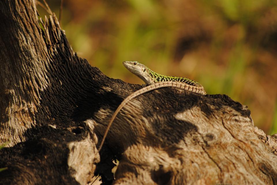 蜥蜴在石化日志
