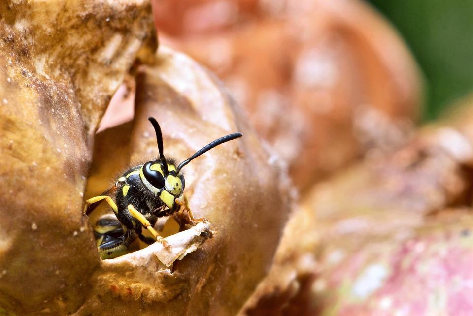黄色の花にミツバチ、クローズアップ