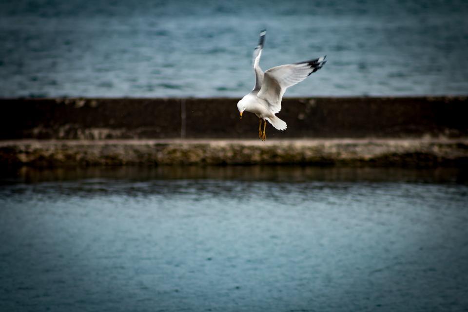 飛翔的海鷗