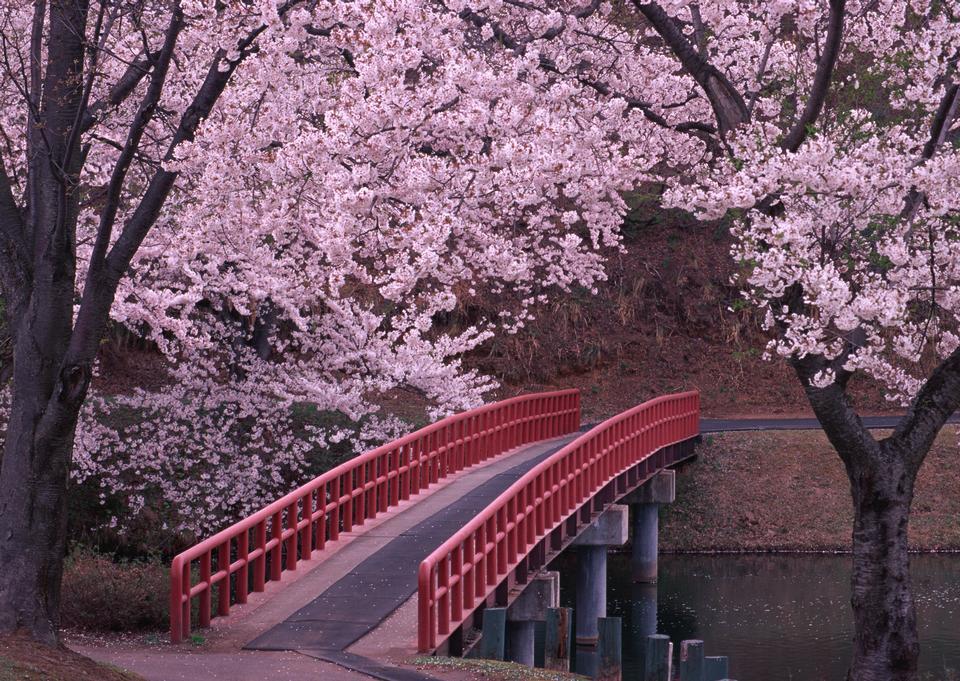 Rami di un albero di ciliegio in stagione sakura in primavera