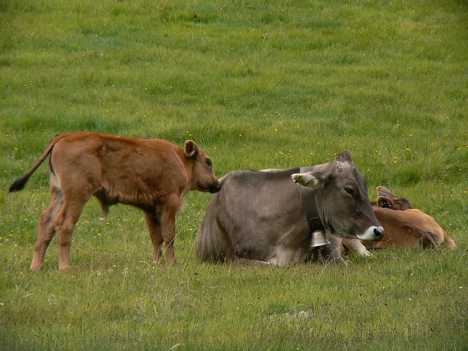 奶牛在草地上放松