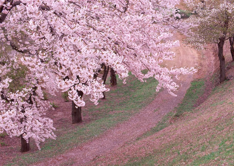 美麗的櫻花景觀